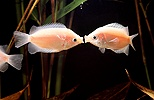 Kissing gouramis