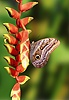 Owl Butterfly on Heliconia flower