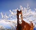 Chestnut horse with snowy muzzle