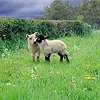 Cute lambs with meadow flowers