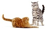 Silver cat in dominance display