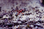 Slave maker ant with slave