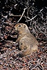 Arctic Ground Squirrel