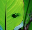Eastern Dwarf Tree Frog shadow on a leaf