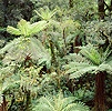 New Zealand Tree Ferns 3D R