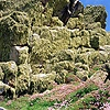 Lichen-covered rocks and Thrift