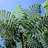 Tree fern at Mt. Kinabalu