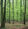 Beech woodland in Spring