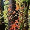 Autumnal Vine Maple leaves