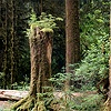 Stump in the Hoh Rainforest