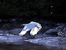 Great White Egret taking off