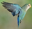 Peach-faced Love Bird in flight