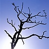 Dead oak tree silhouette