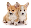 Pembrokeshire Welsh Corgi pups, 8 weeks old