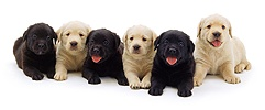Black and Golden Retriever pups
