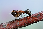 Wood Ant piggyback