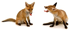Playful fox cubs
