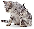 Silver mother cat with kitten