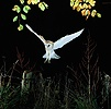 Barn Owl alighting on fencepost