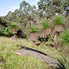 Grass trees at Gidgegannup 3D 1 R
