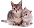 Burmese mother cat and kitten