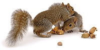 Pair of Grey Squirrels