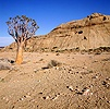 Namib Desert with Quiver Tree