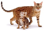 Bengal mother cat and kitten
