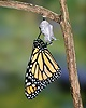 Monarch Butterfly hatching
