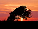 Wind-blown Hawthorn at sunset