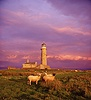 Sheep and Lundy old lighthouse