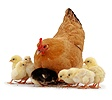 Buff bantam hen with chicks