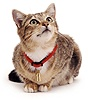 Tabby cat with new collar and tag