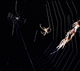 Orb-web Spider building web