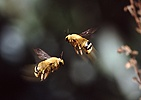 Male Carpenter Bees fighting