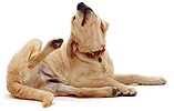 Yellow Labrador scratching