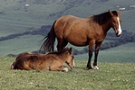 Welsh cob mare and foal