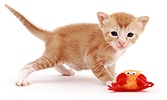 Red kitten with toy