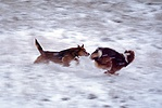 Dogs chasing in snow