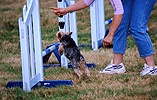 Dog agility Yorkshire Terrier