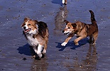 Terrier-cross chasing collie on beach