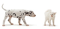 Dalmatian pup and scared kitten