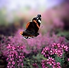 Red Admiral in flight