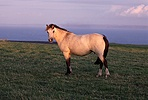 Lundy horse