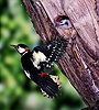 Great-spotted Woodpecker at nest hole