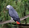 African Grey Parrot in rainforest