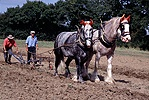 Heavy horses ploughing