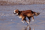 Border Collie running on beach