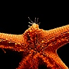 Starfish regenerating limb