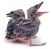 Kookaburra chicks